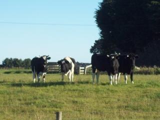 vacas dunedin