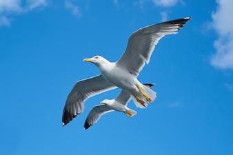 Vista inferior de gaviotas volando