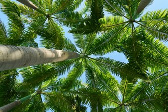 Vista inferior de palmeras