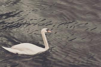 Pato blanco en el lago