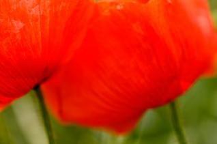 zenn los tulipanes