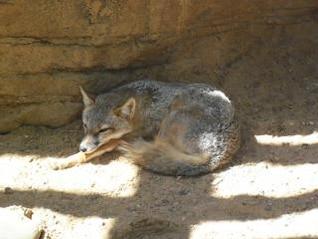 zorro del desierto zorro