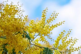 Acacia dealbata rami contro il cielo