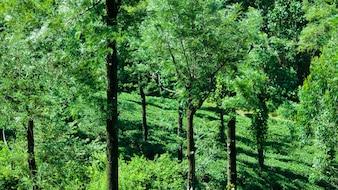 Albero di gomma e piantagione di tè