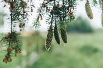 Ananas che pendono da un albero di pino