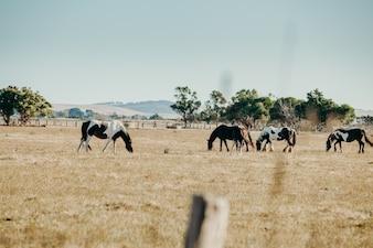 Bei cavalli pascolanti in campagna