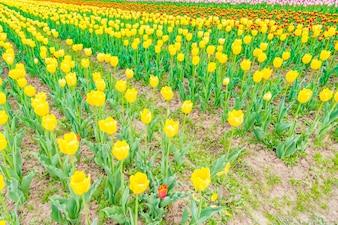 Bel bouquet di tulipani in primavera.