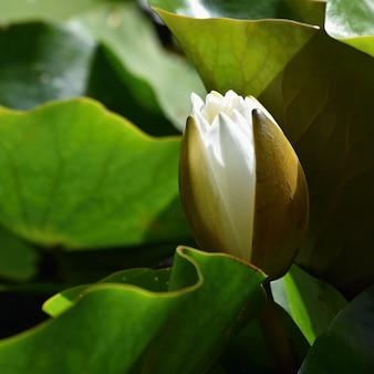 Bella fioritura di fiore - giglio di acqua bianca su uno stagno. (Nymphaea alba) Sfondo naturale sfocato colorato.