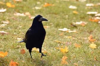 Bella immagine di un uccello - corvo / corvo in autunno natura. (Corvus frugilegus)