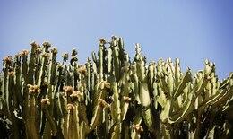 Campo di cactus