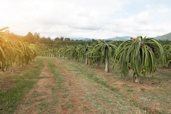 Campo di piantagione di drago-frutta in Thailandia, questo è il frutto preferito in Asia