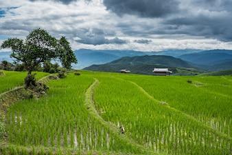 Campo di riso verde a Chiang mai, Tailandia.