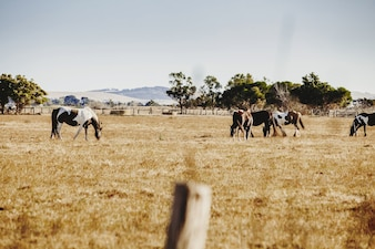 Cavalli pascolanti in una valle d'oro.