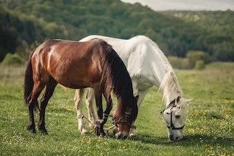 Cavallo alezan marrone criniera giro