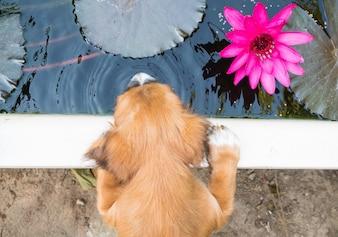 Cute cucciolo beve l'acqua sul laghetto, e bel loto rosa.