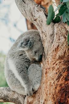 Cute koala che dorme in un ramo di albero di eucalipto