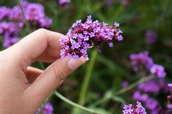 Donna raccogliendo fiori viola su un prato, mano close-up, erba verde.