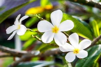 Fiore di plumeria che fiorisce sull'albero, fiore della stazione termale