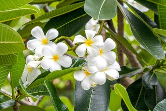 Fiore tropicale bianco fiore di Plumeria