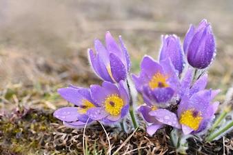 Fiori di primavera. Fiore e sole di fiore e fiore in fiore con uno sfondo colorato naturale. (Pulsatilla grandis)
