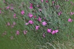Fiori rosa in campo