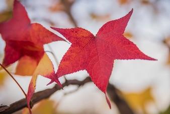 Foglia di acero giapponese. Foglie di acero rosso in un giorno di autunno soleggiato. Acero giapponese - Acer palmatum ssp Amoenum