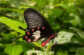 Foglia di farfalla di rosa comune che tiene foglia nel giardino
