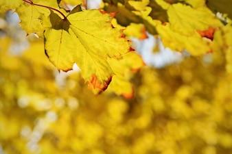 Foglie d'autunno sull'albero. Sfondo colorato stagionale naturale.