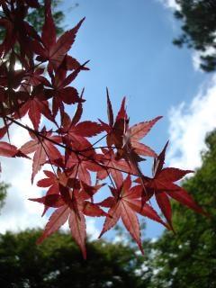 Acero giapponese scaricare foto gratis for Acero rosso giapponese