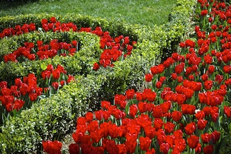 Tulipano telaio scaricare foto gratis - Giardino con rose ...