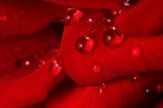 Gocce di rosa