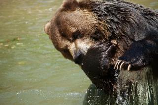 Impronte di orso grizzly scaricare icone gratis for Cabina di montagna grande orso