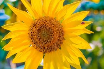 Grandi girasoli bellissimi all'aperto. Carta da parati scenica con un primo piano di girasole contro sfondo verde con fiori