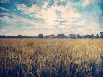 Il campo di riso e l'annata del filtro grunge tonificato con lo spazio.