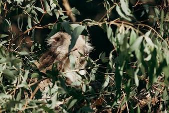Il sangue koala che mangia eucaliptus lascia nell'albero.