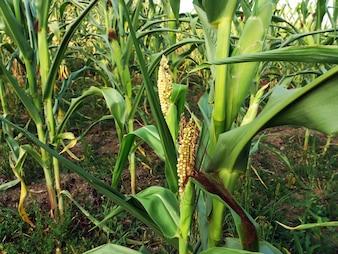Immagine di fuoco selettiva del mais danneggiato nel campo di mais biologico.