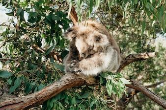 Koala australiano dorme mentre afferra un albero di ramo di eucalipto.