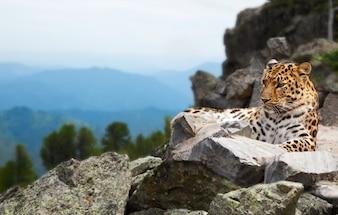 Leopardo sulla roccia