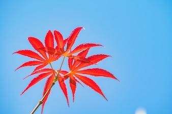 Liquidambar autunno tinta blu fiore