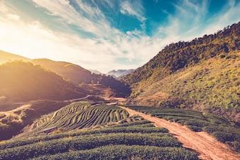 Luce del sole mattutino sul campo di tè in Thailandia. Stile vintage.