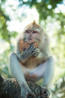 Macaque con cocco