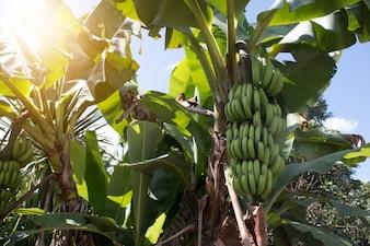 Mazzo verde di banane