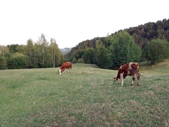 Mucca su un pascolo estivo