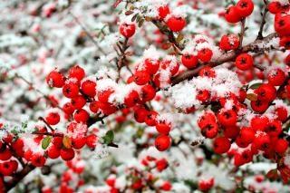 neve e frutti di bosco
