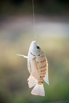Nile tilapia pesce appesa al gancio