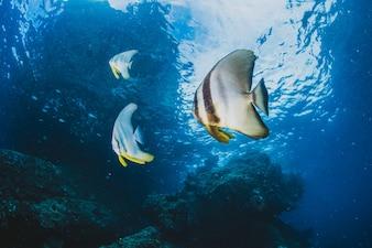 Pesci tropicali nell'oceano blu.