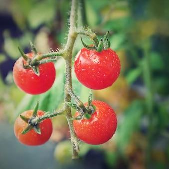 Pomodori rossi freschi sulla pianta