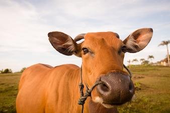 Primo piano della mucca sveglia