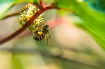 Primo piano di alimentazione delle api