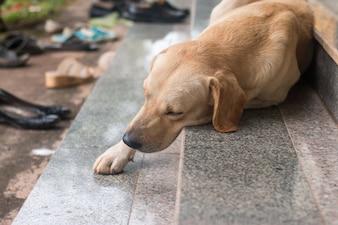 Primo piano di Brown cane dormire sulla scala